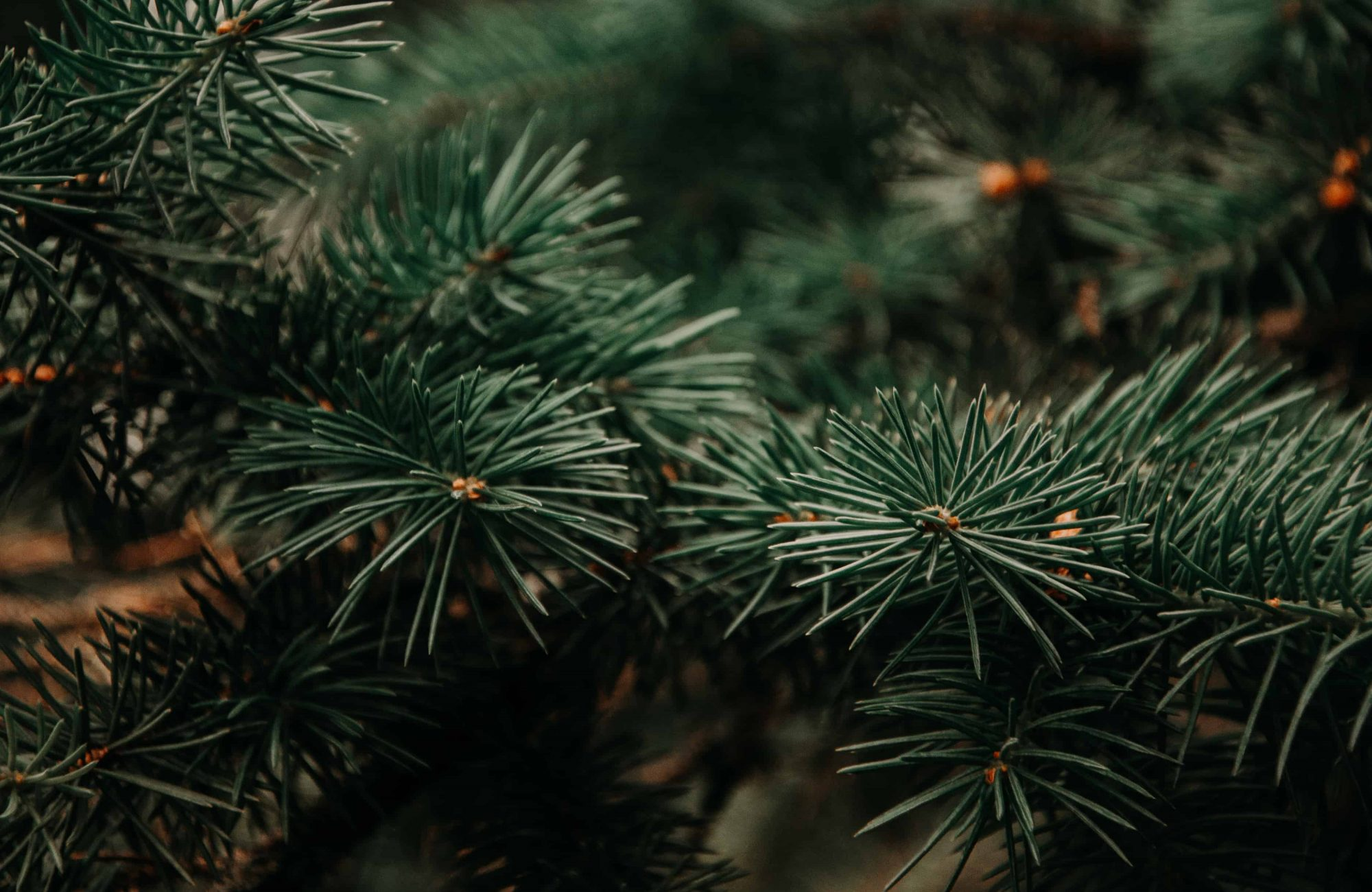 Photography of Green Pine Tree